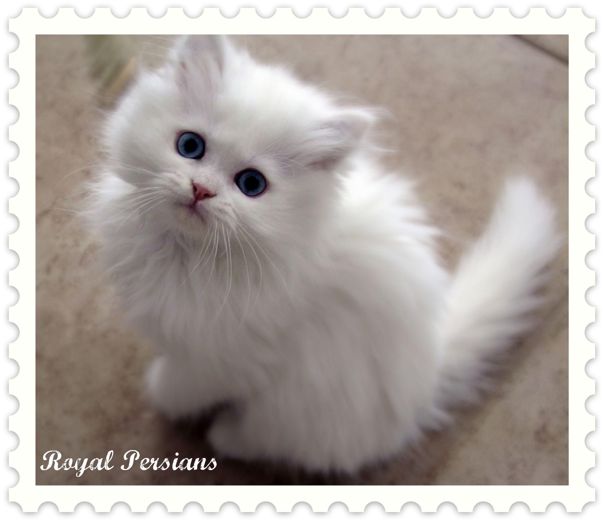 persian kittens Blue Eyed White Persian Kittens for Sale