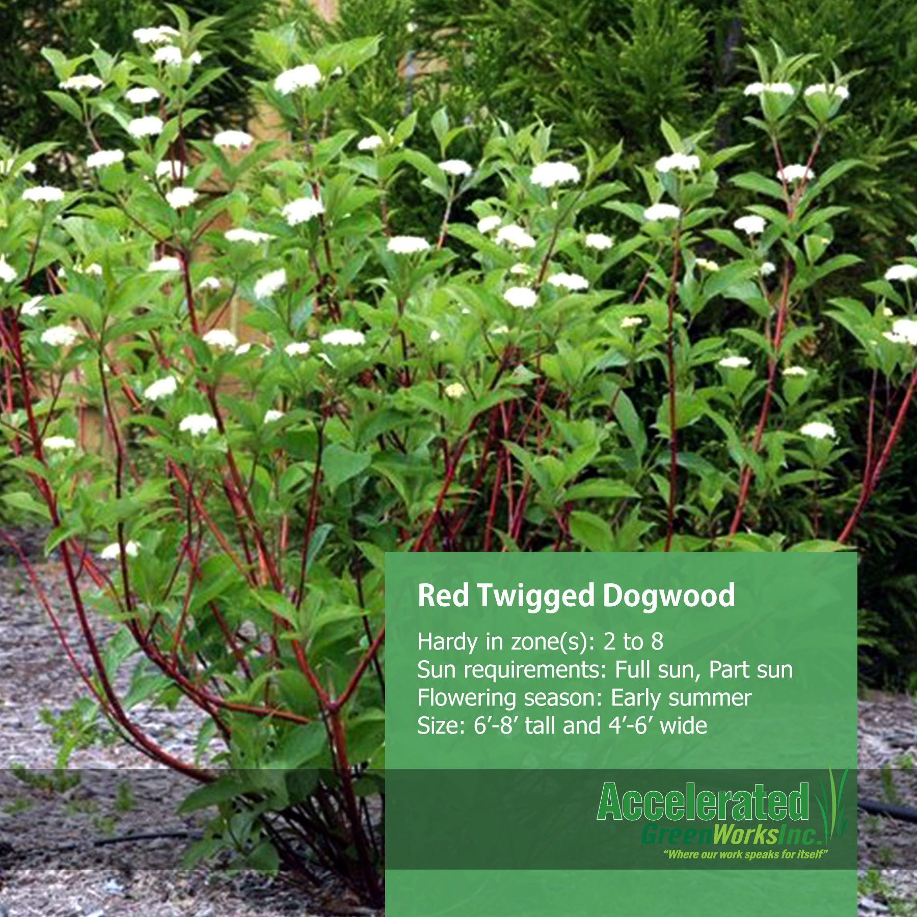 Red Twigged Dogwood Shrubs Pinterest Red twig