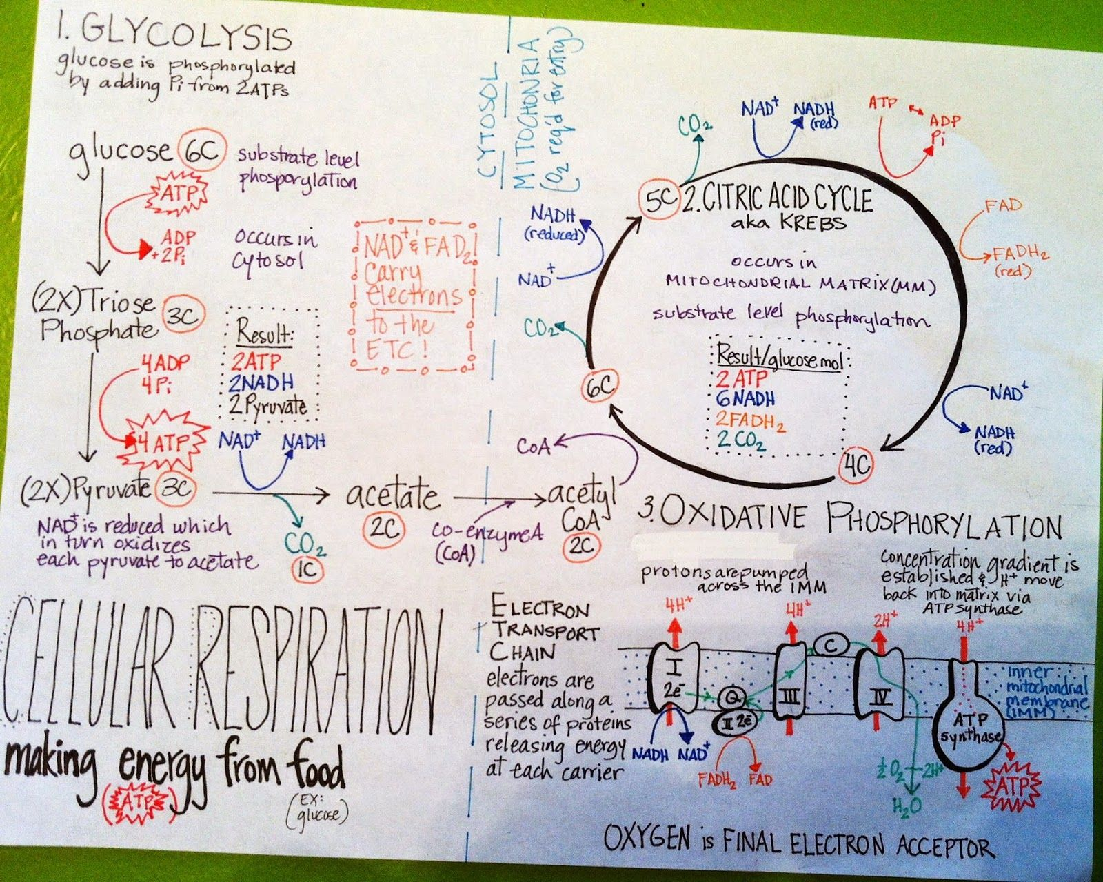 We Teach High School More Summary Sheets Cellular Respiration Def Can Adapt For 8th