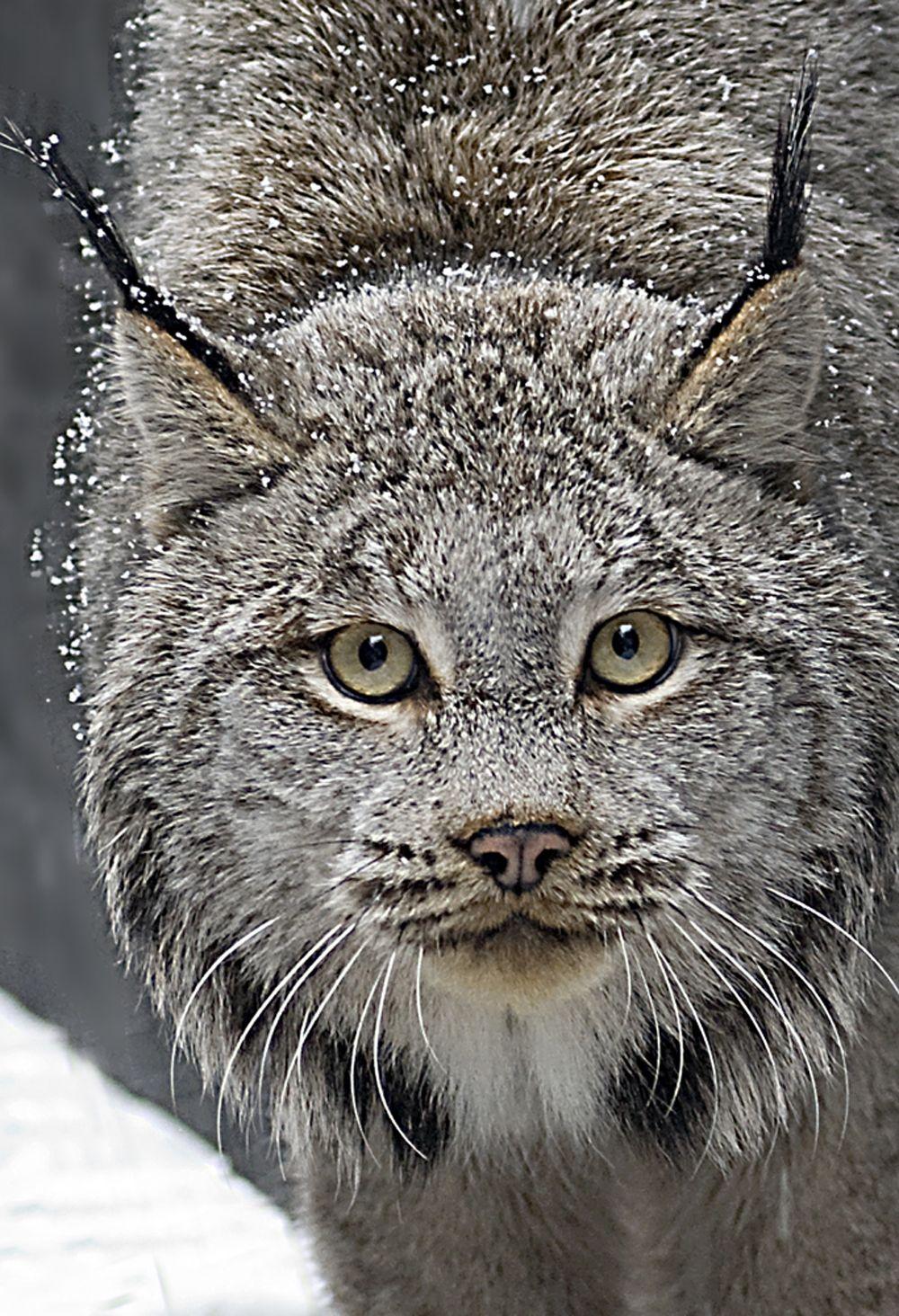 Top 10 Photos of Big Cats Lynx, Sunlight and Fur
