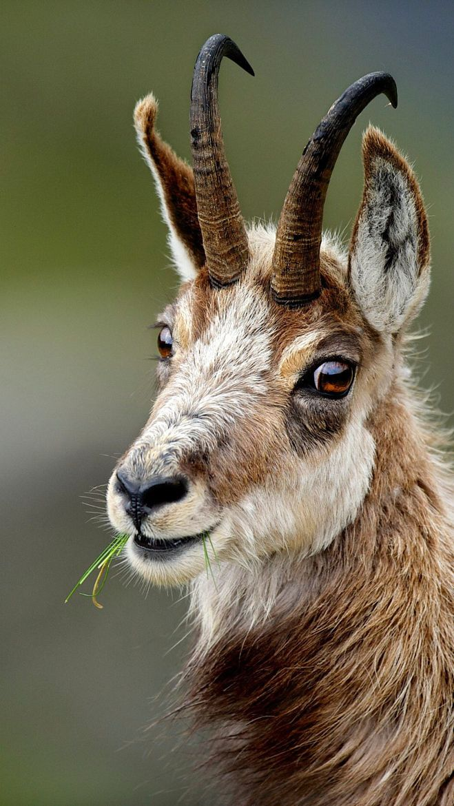 The chamois (Rupicapra rupicapra) is a goatantelope