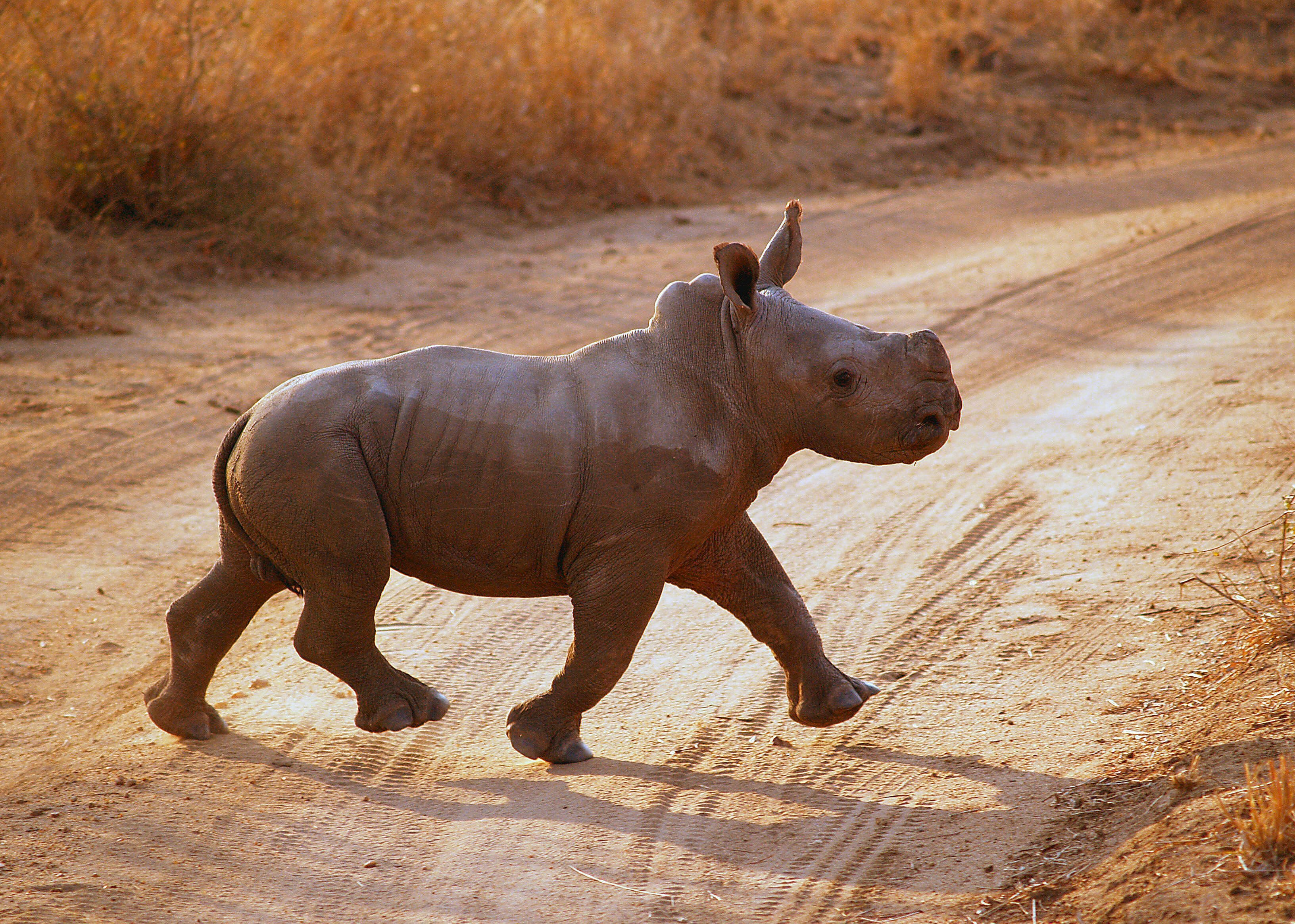 A baby rhino trots proudly behind his much larger and very