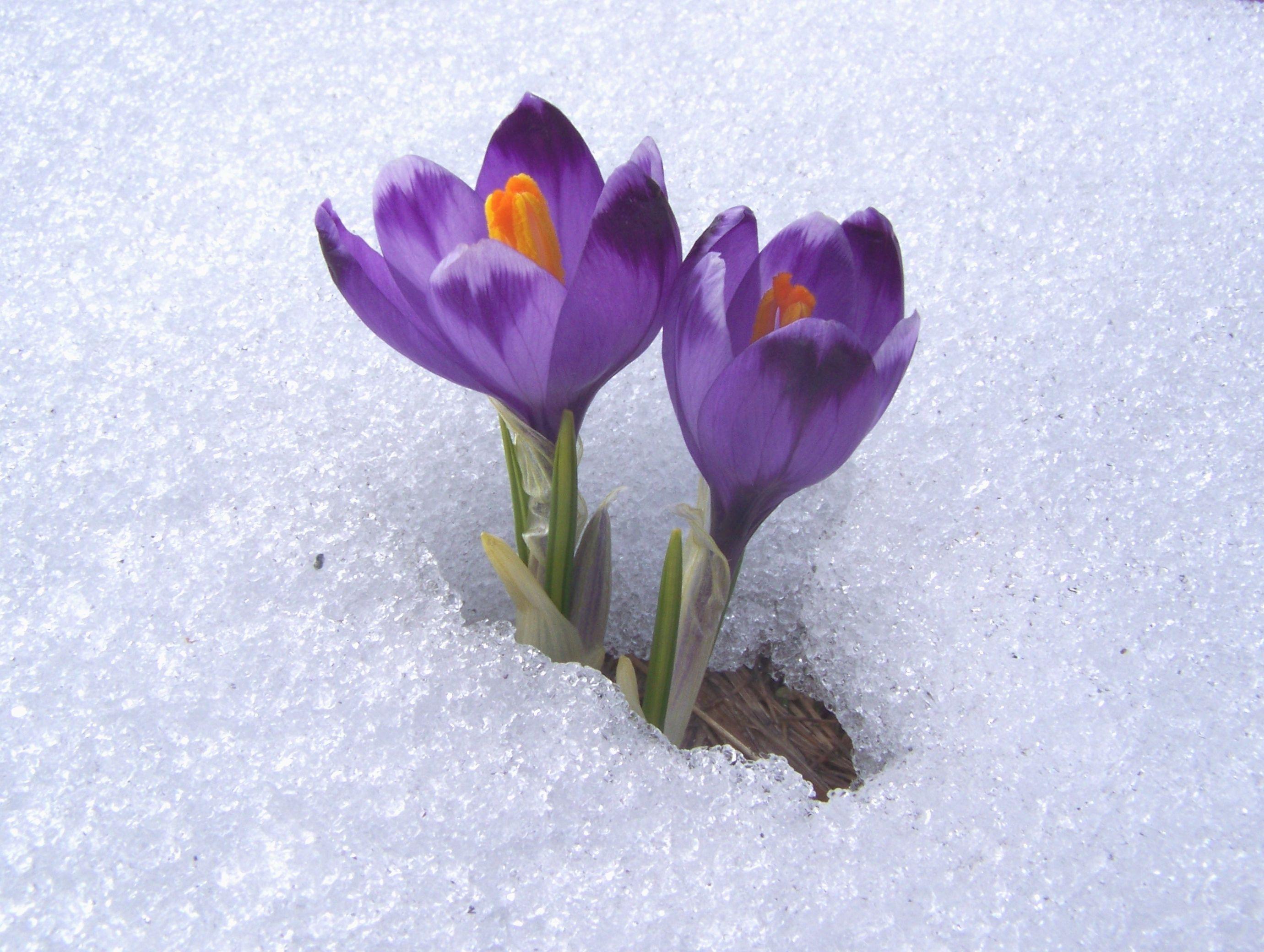 pictures flowers in snow and quotes Crocus neapolitanus