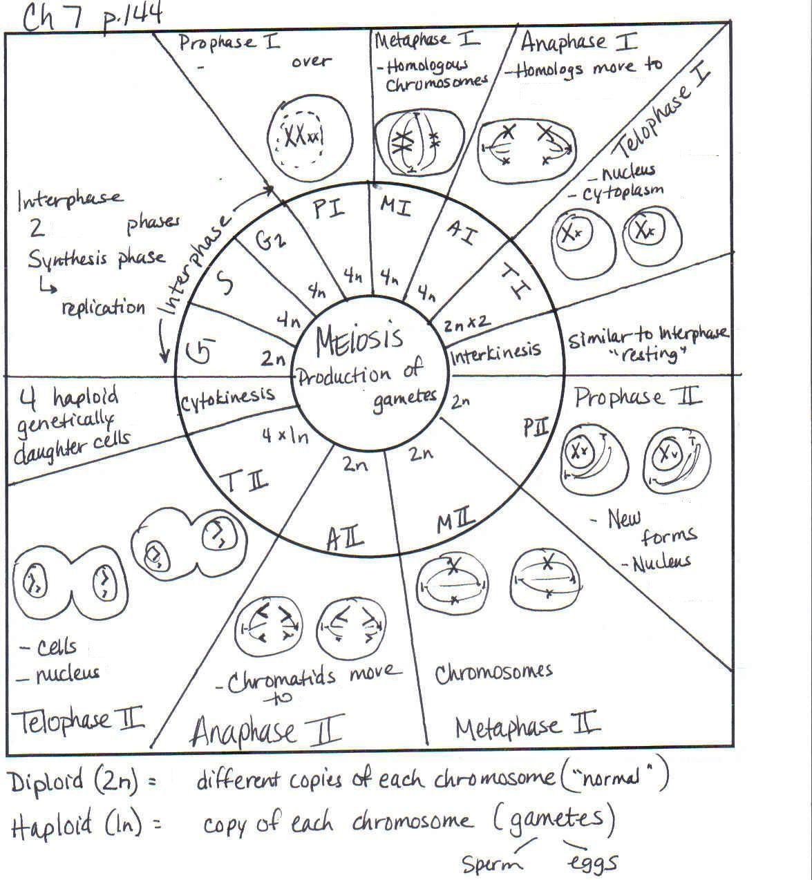 Meiosis Se Senala Bien En La Infografia El Numero De