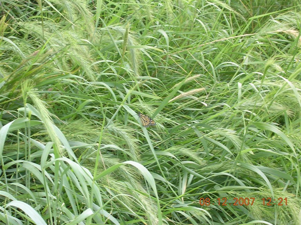 elymus virginicus Google Search Grasses/Sedges/Rushes