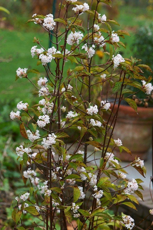 Plant van de maand November Viburnum farreri de