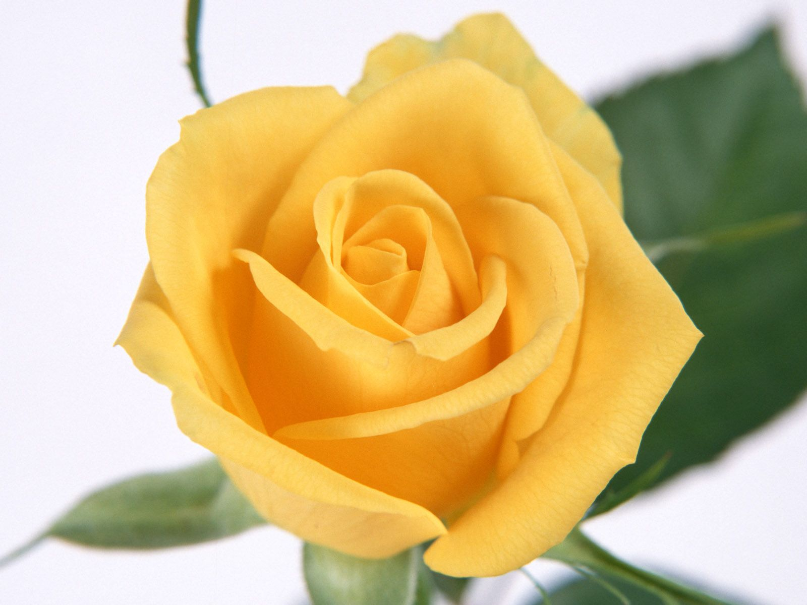 The yellow rose is a symbol of friendship and caring. It