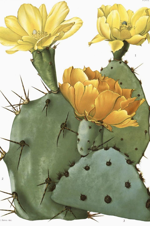 Optunia sp. illustration circa 1920 Cactus
