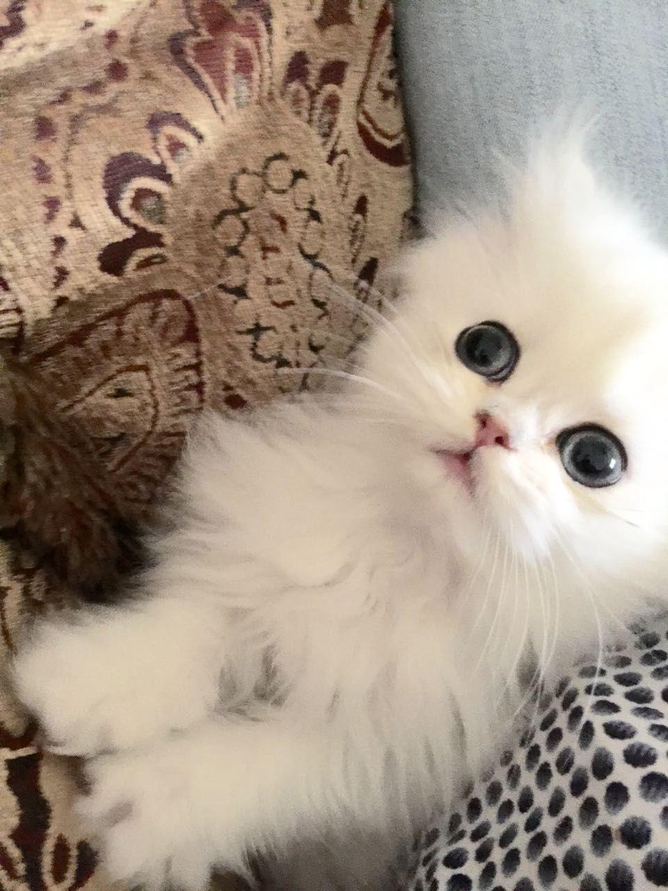 Parent's With Huge Secret Teacup kitten, Persian kittens
