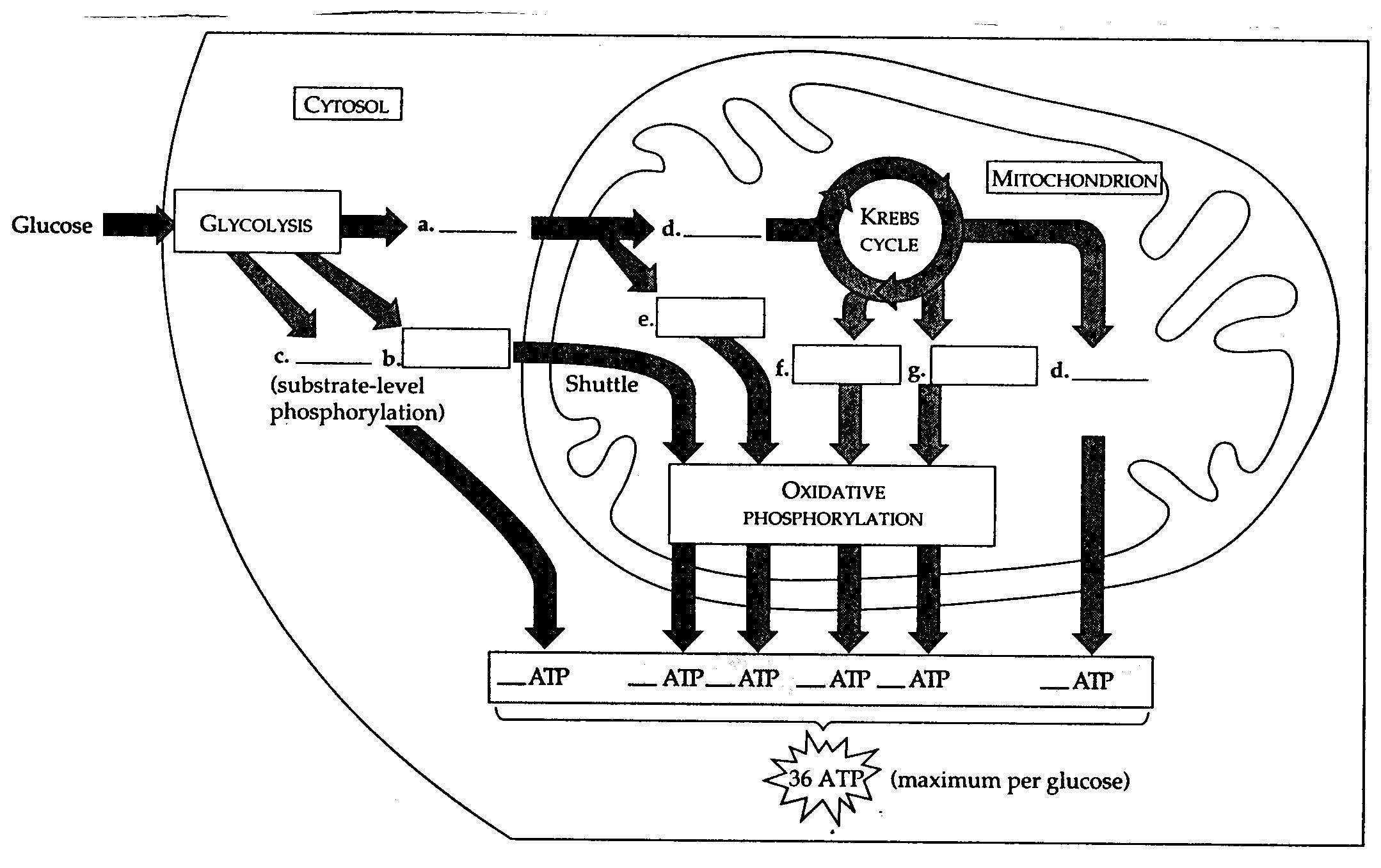 Glycolysis And Krebs Cycle Diagram Sketch Coloring Page