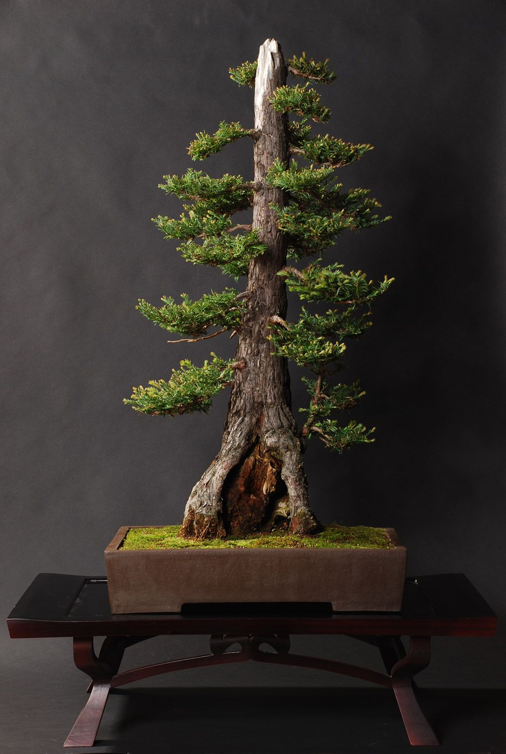 Coast Redwood Bonsai From Around The Web Pinterest