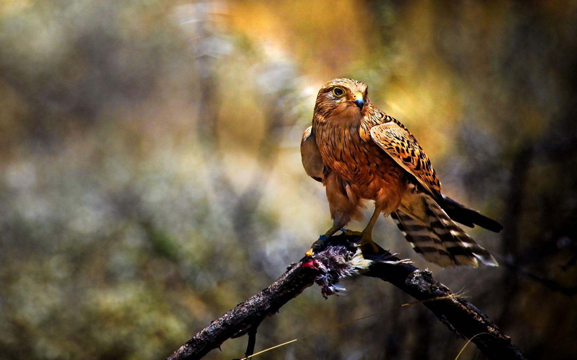 HD Bird Of Prey Wallpaper Download Free 110905 birds