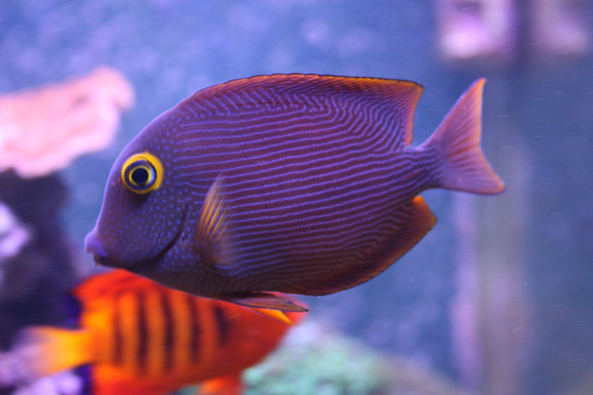 Kole Tang Re Kole Tang FishT Pinterest Fish