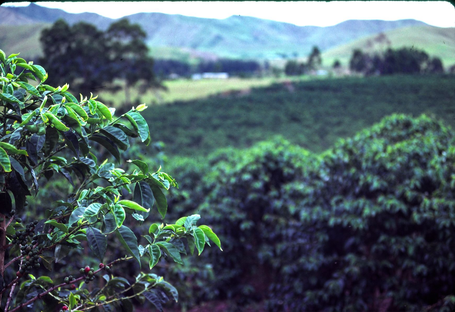 Coffee plantation (Aiyura Valley), Papua New Guinea. PNG
