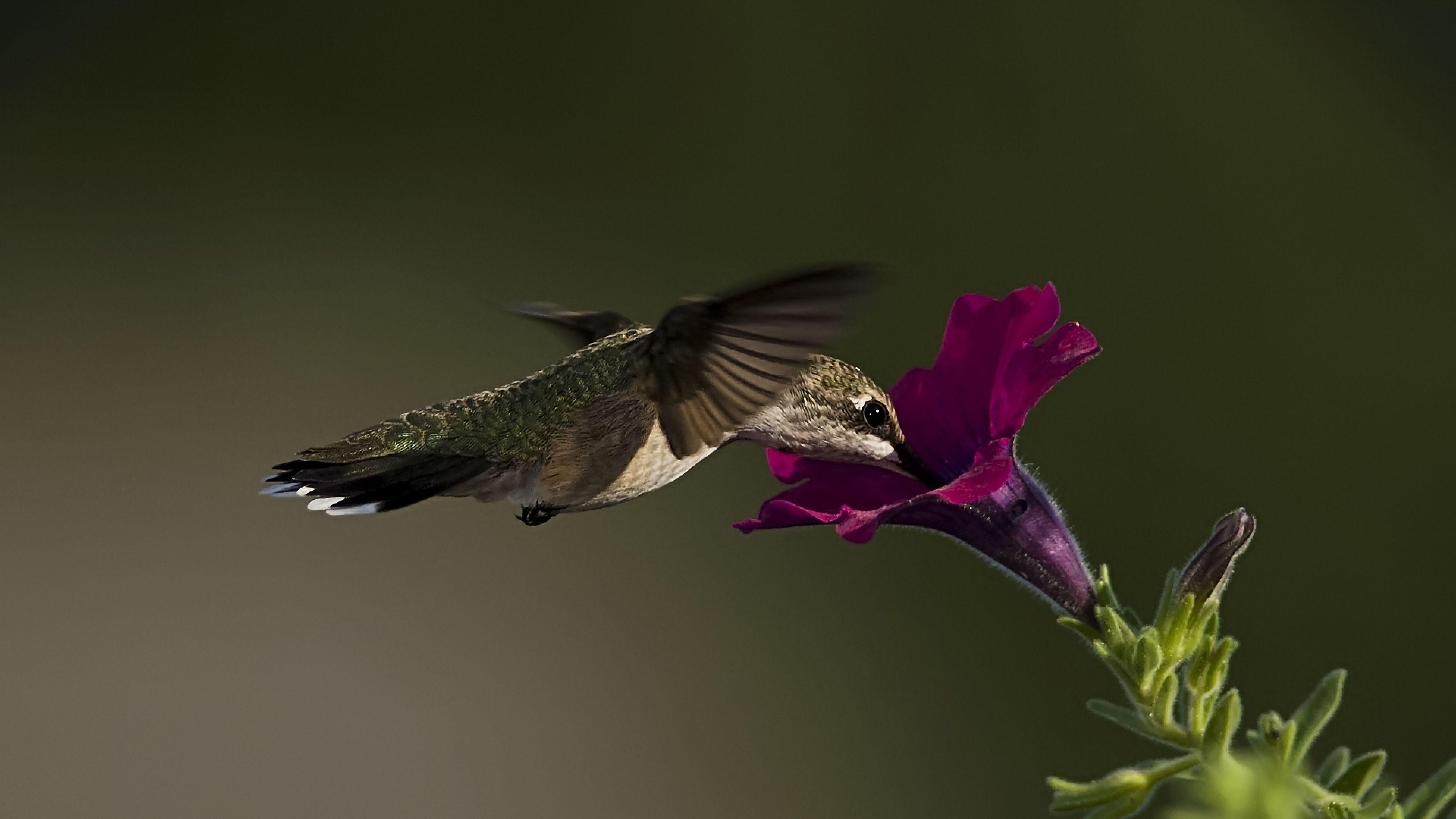 ultra hd wallpaper, flower 4k |  bird, hummingbird, flower