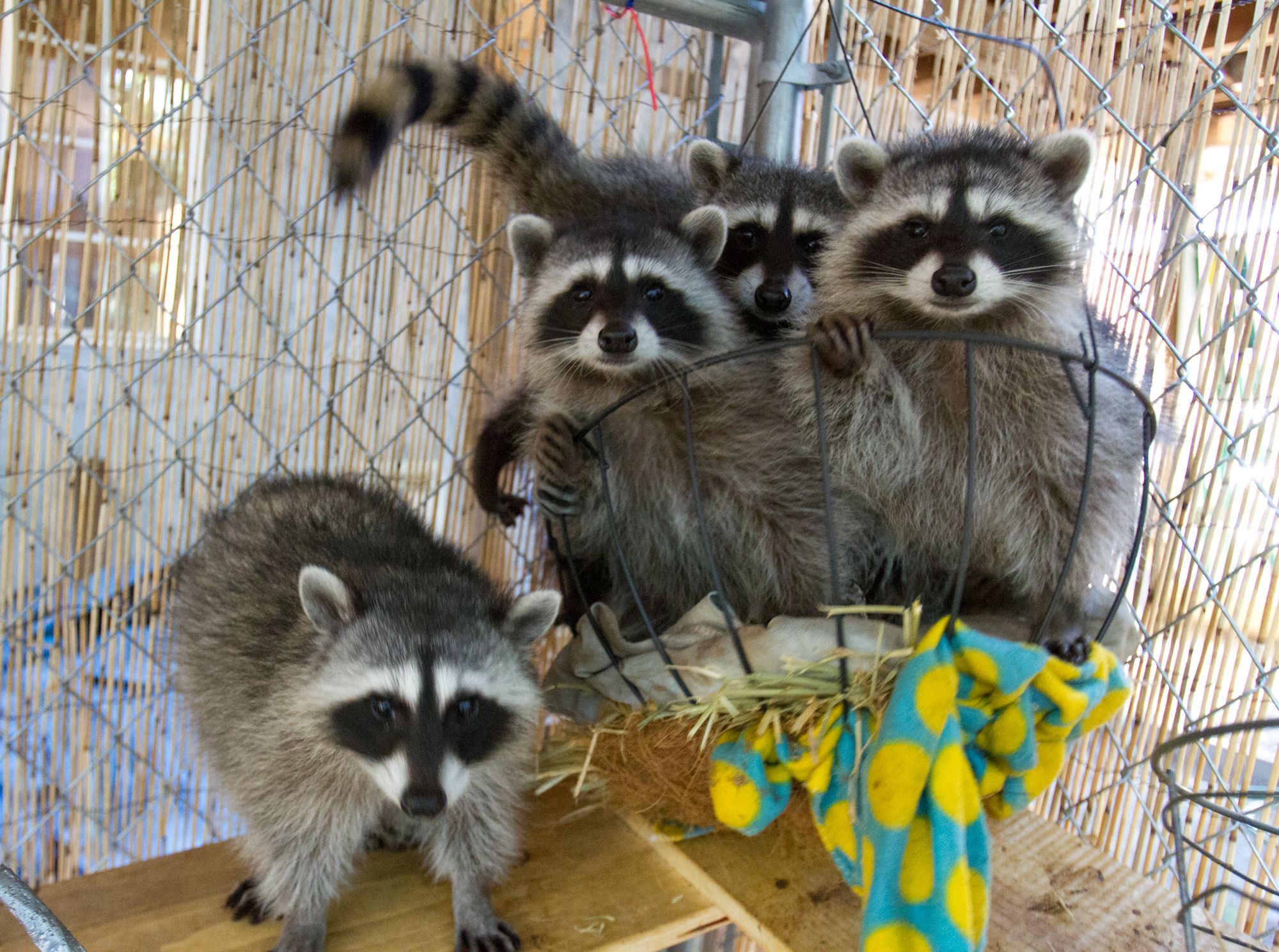 These five unrelated orphaned raccoons are being cared for