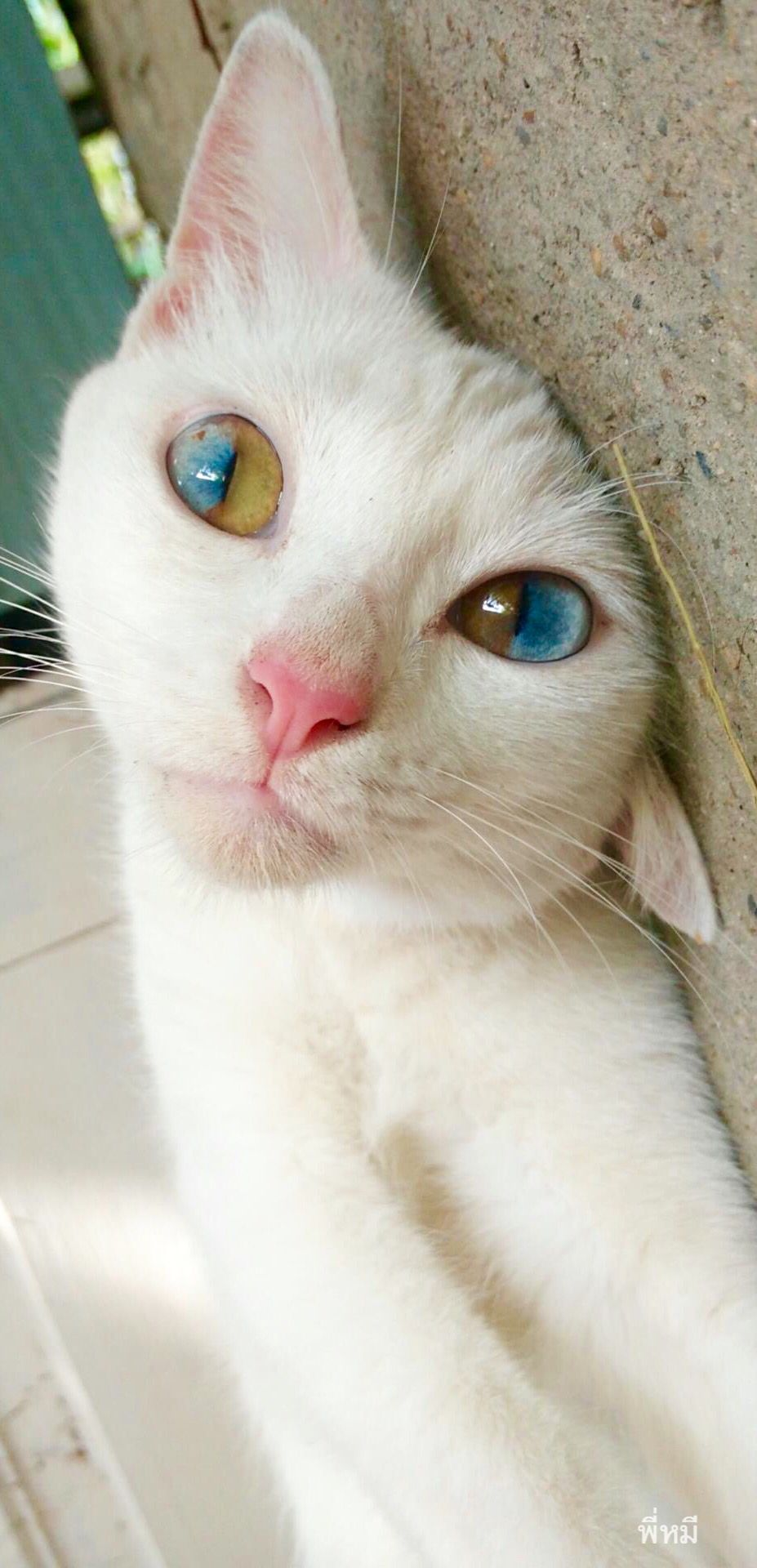 Supposedly allwhite cats with blue eyes are deaf