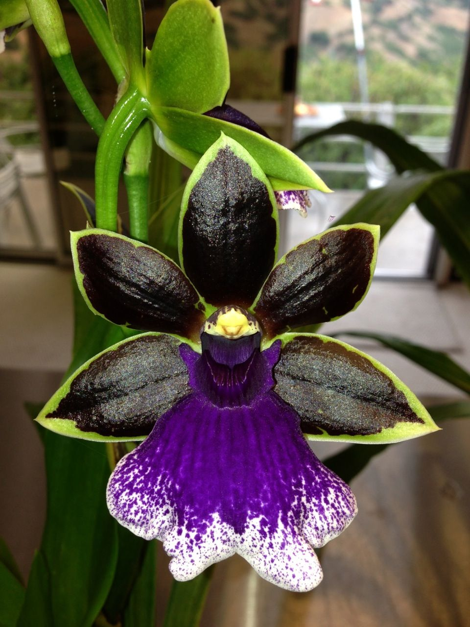 Zygopetalum Aussie Trance complete with black petals and