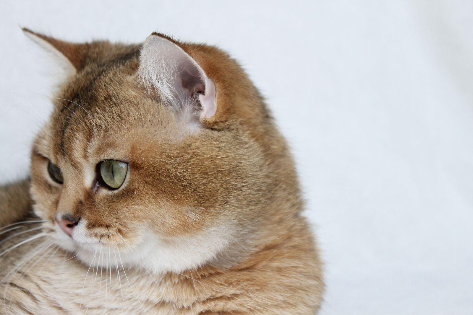 British shorthair, British and Cat
