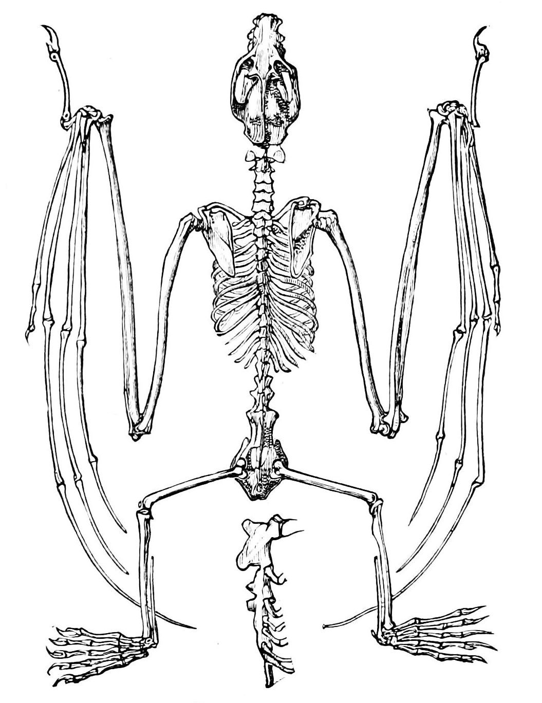 Bird Bones Anatomy