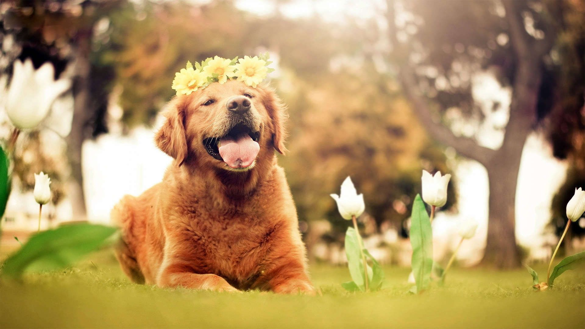 golden retriever wallpapers hd download 1920×1080 golden retriever