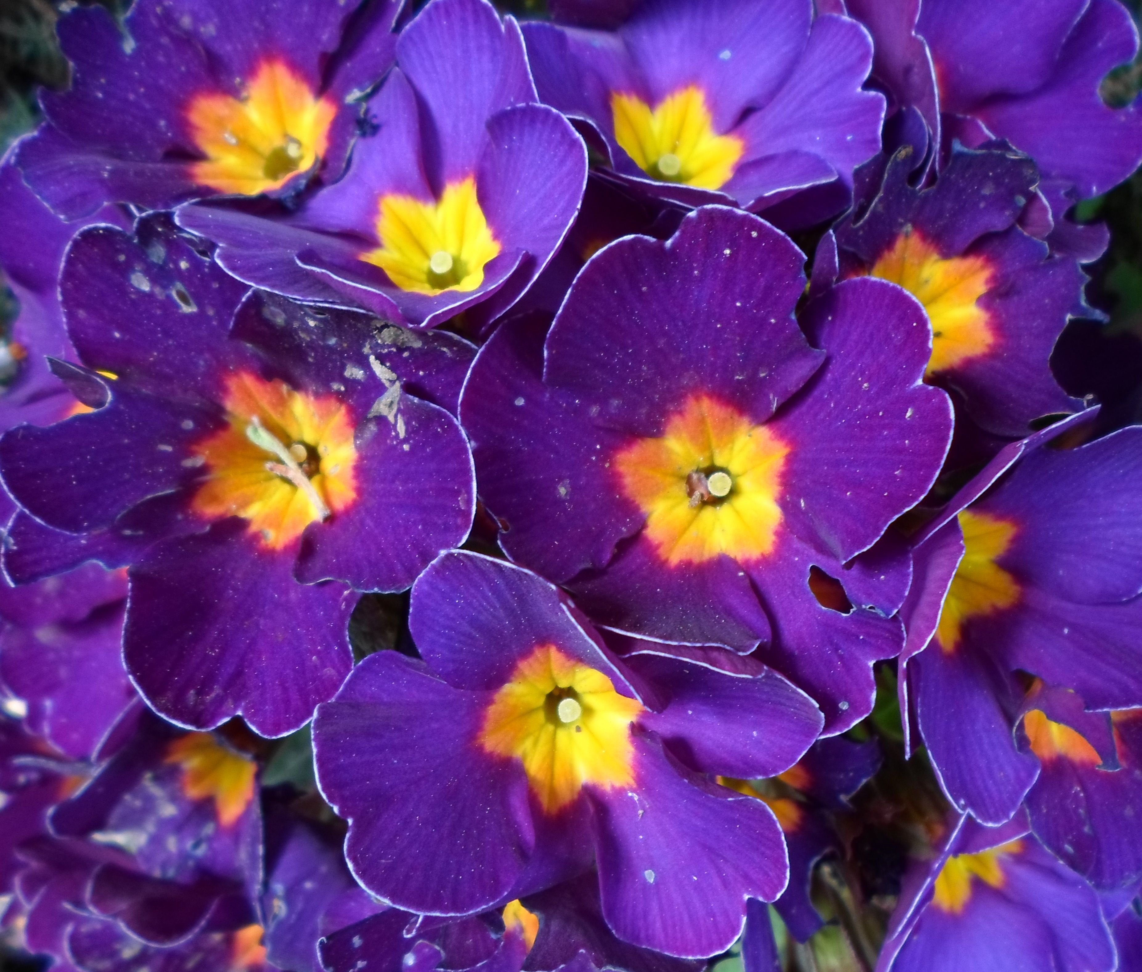 Purple and Yellow Flowers Vulnicura Love. Pinterest