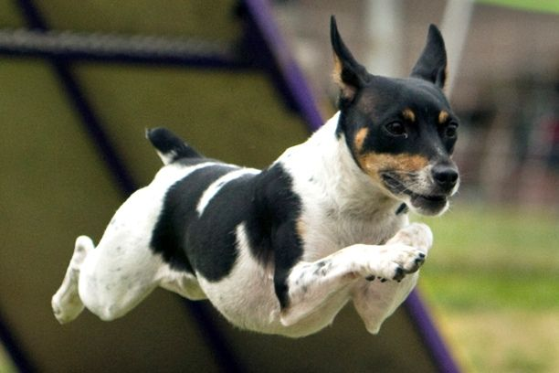 Tiny Dog Rescues Girl From Attempted Abduction
