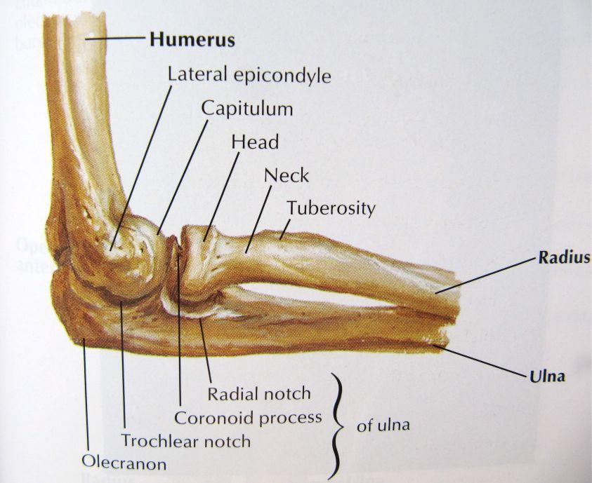 「Elbow anatomy」のおすすめアイデア 25 件以上   Pinterest   腕の筋肉の解剖学、人間の ...