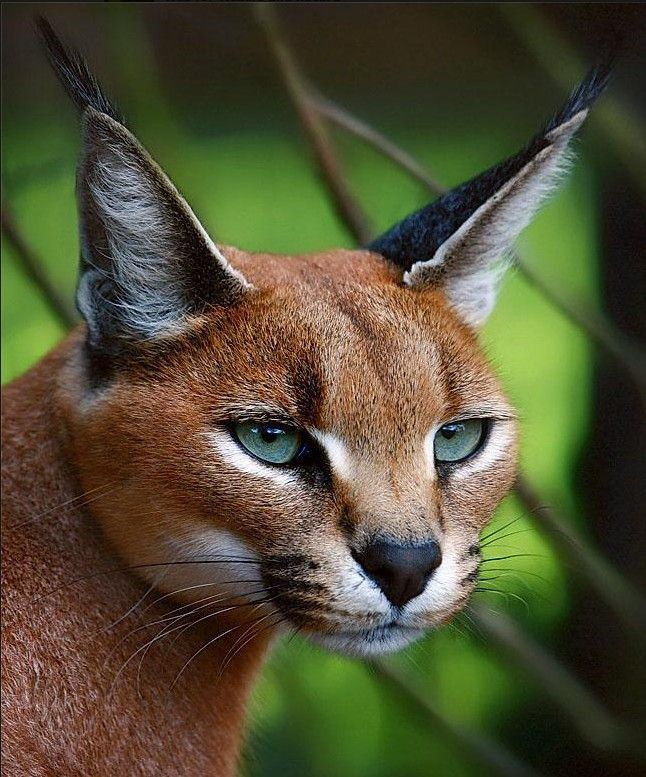 The Caracal, is a fiercely territorial mediumsized cat