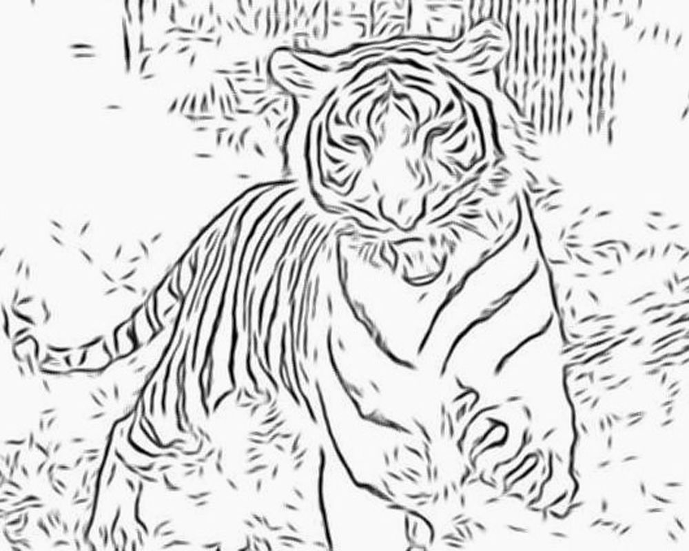 1000 images about big cats on pinterest coloring pages tigers