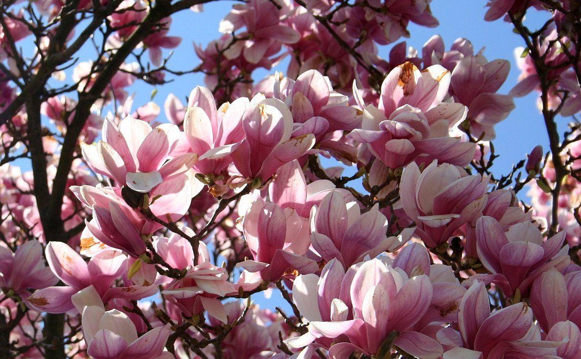 I REALLY want a Magnolia Tree at the new house. I think