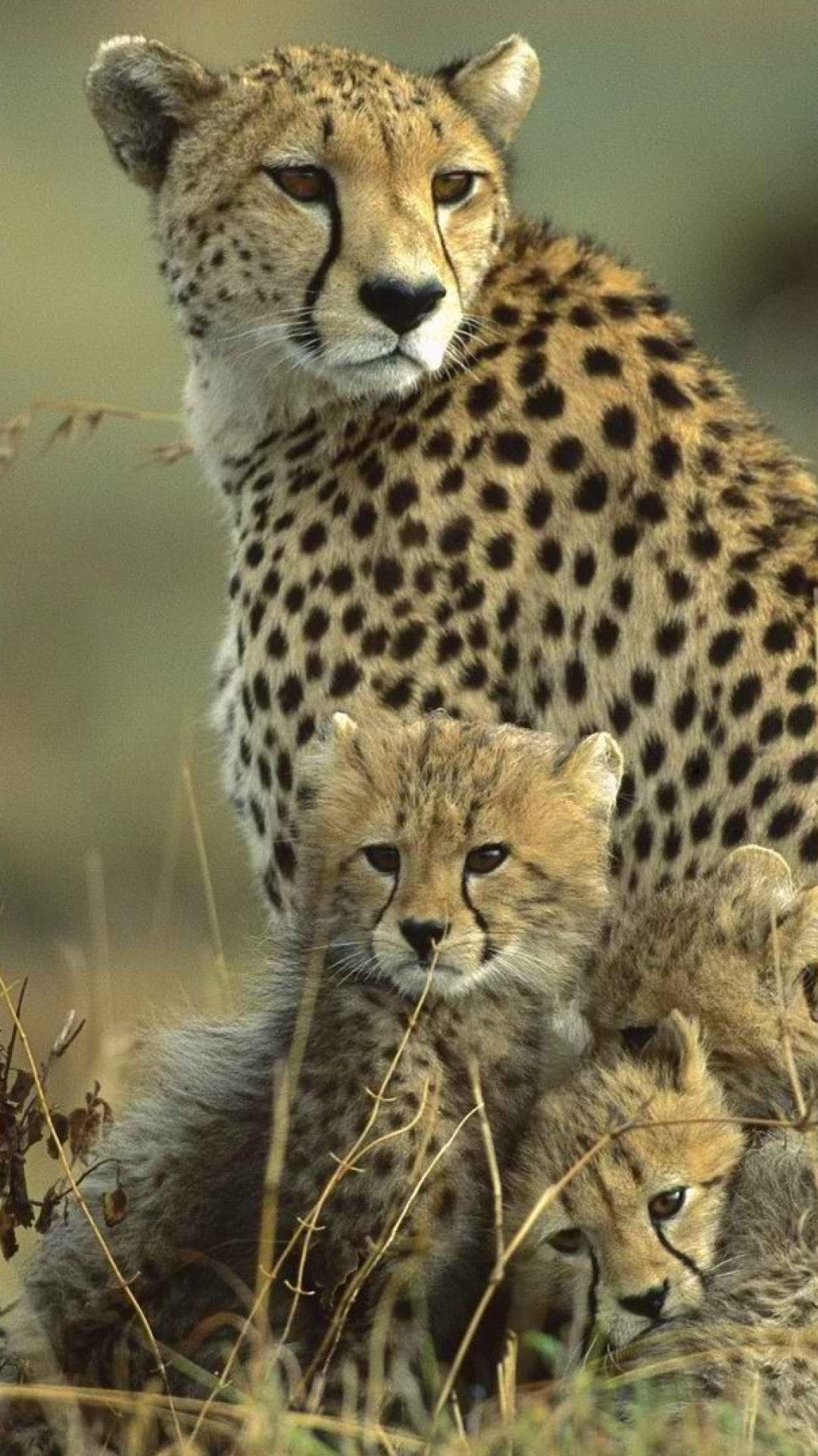 Cheetahs. M. Taylor I just LOVE Cheetahs,especially those