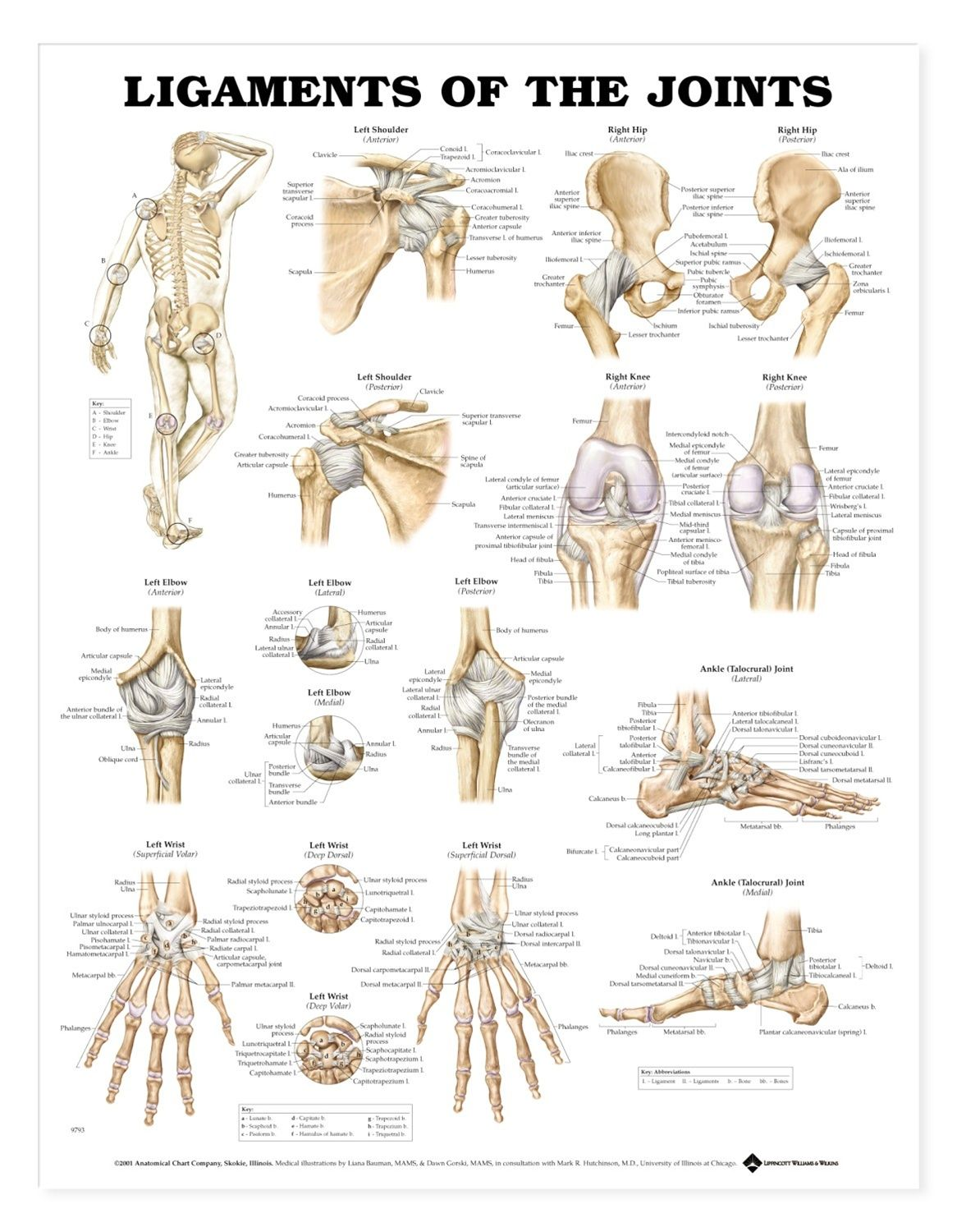 Ligaments Of The Joints Anatomy Charts Amp Terminology For Major Joints