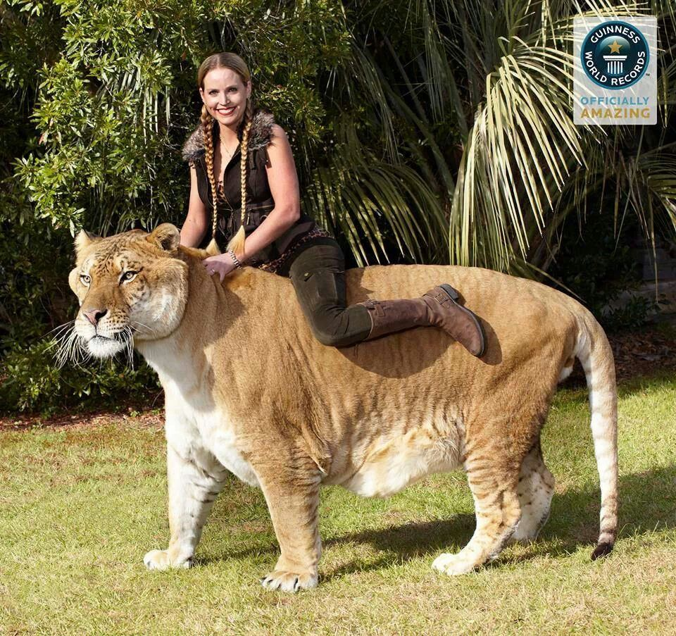 HerculesLargest living cat. He is a male, adult Liger
