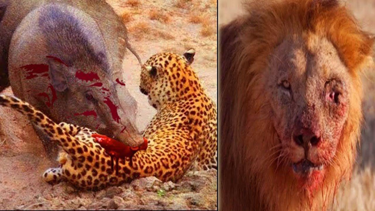 Lợn rừng nổi điên tấn công sư tử có kết cục Lion vs Pig
