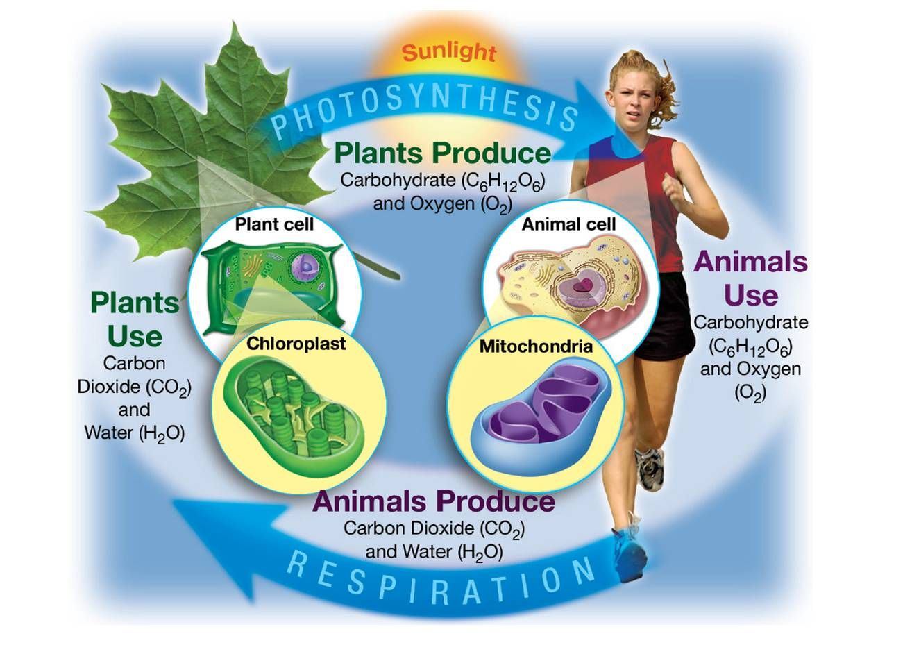 Cellular Processes Photosynthesis And Cellular