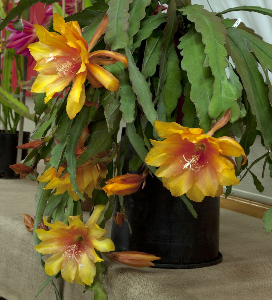 Epiphyllum Acapulco By Don Crain Succulents and