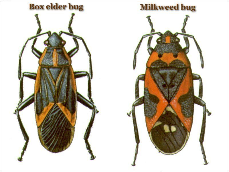 Box elder vs milkweed bug insects arachnids reptiles