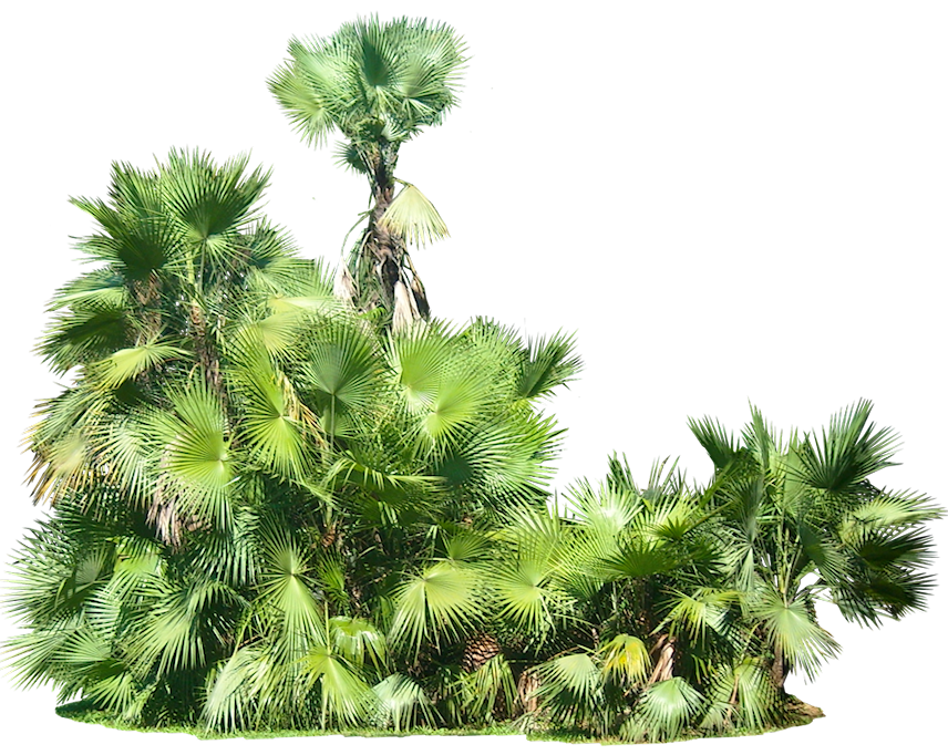 Tropical Plant Pictures Acoelorrhaphe wrightii