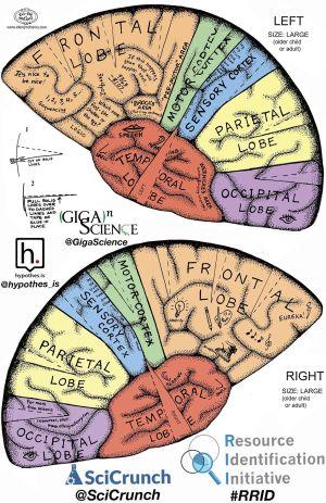 Brain Hat   Brain   Pinterest   Brain, Brain science and