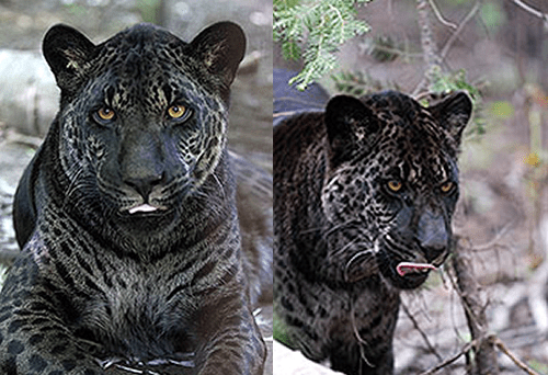A Jaglion. It is a crossbreed of a male Jaguar and female
