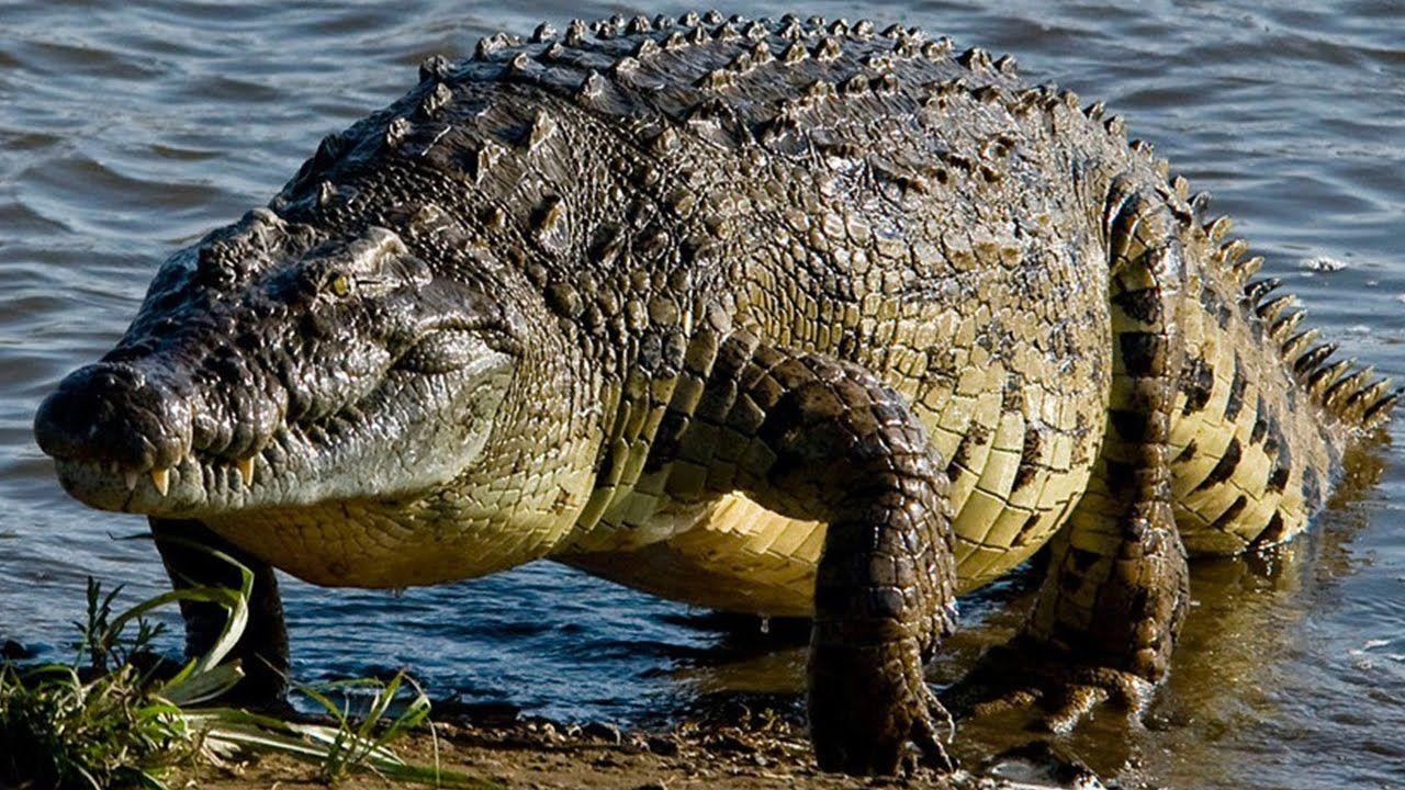 National Geographic Wild Animals Crocodile King Nat Geo