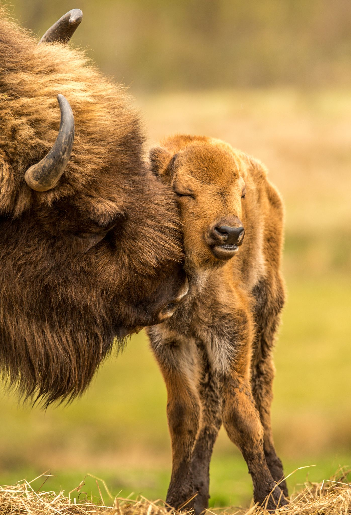 Bison calf groomed ) by Matthias Boeke on 500px Dogs