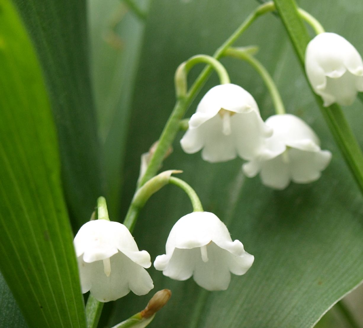 images of lily of the valley Google Search Lily of the