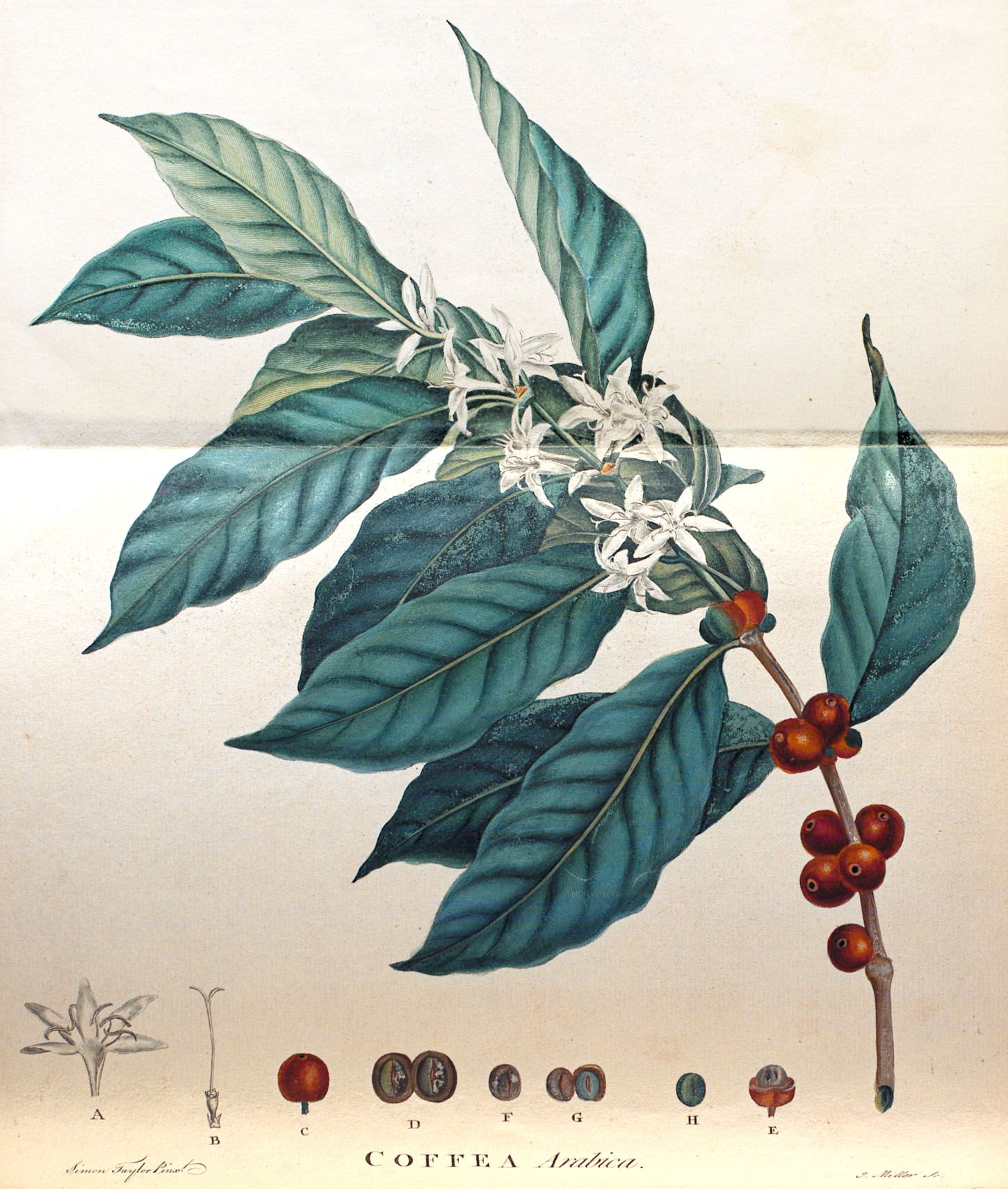 An illustration of a coffee plant, from An Historical