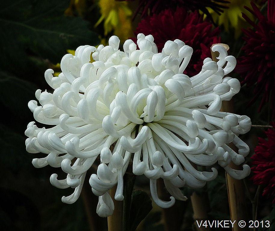 chrysanthemum Google Search Chryzantemy Pinterest