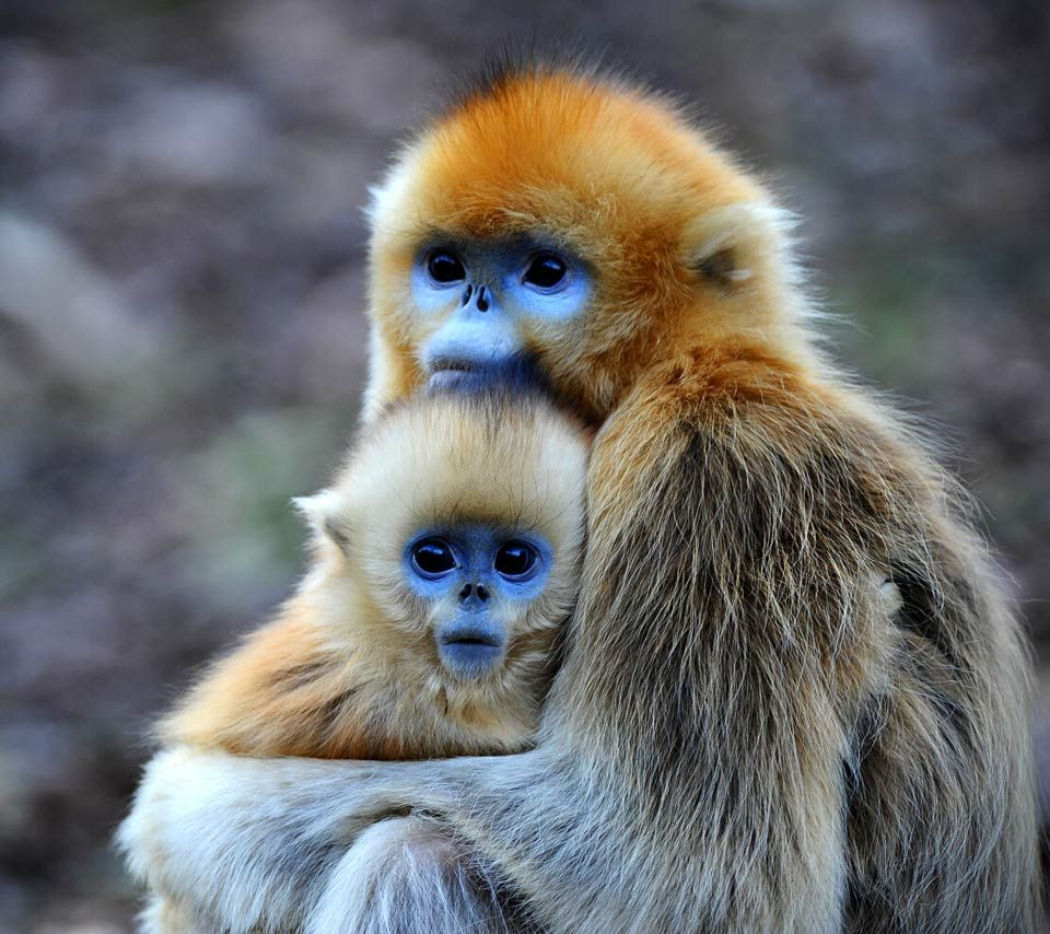 Blue faces combined with bright orange fur make the golden