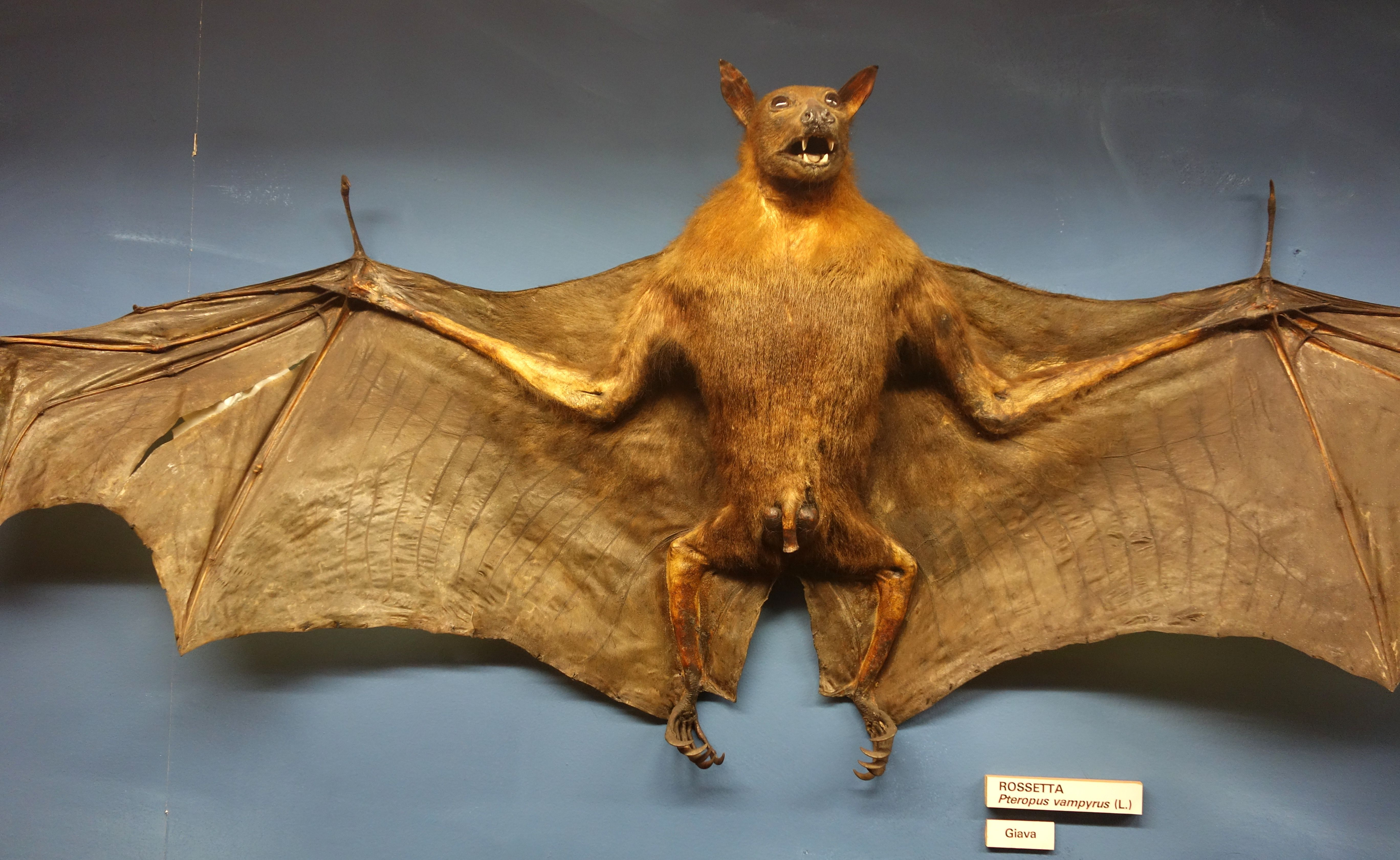 The Large Flying Fox Pteropus Vampyrus Also Known As