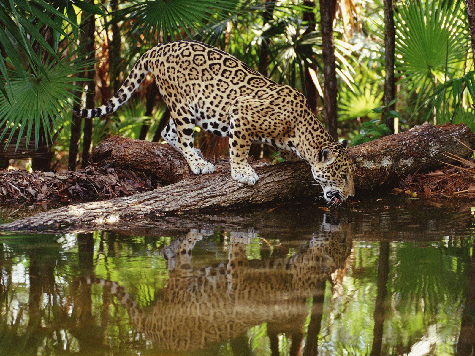 Resolución del papel pintado animal selva tropical de alta