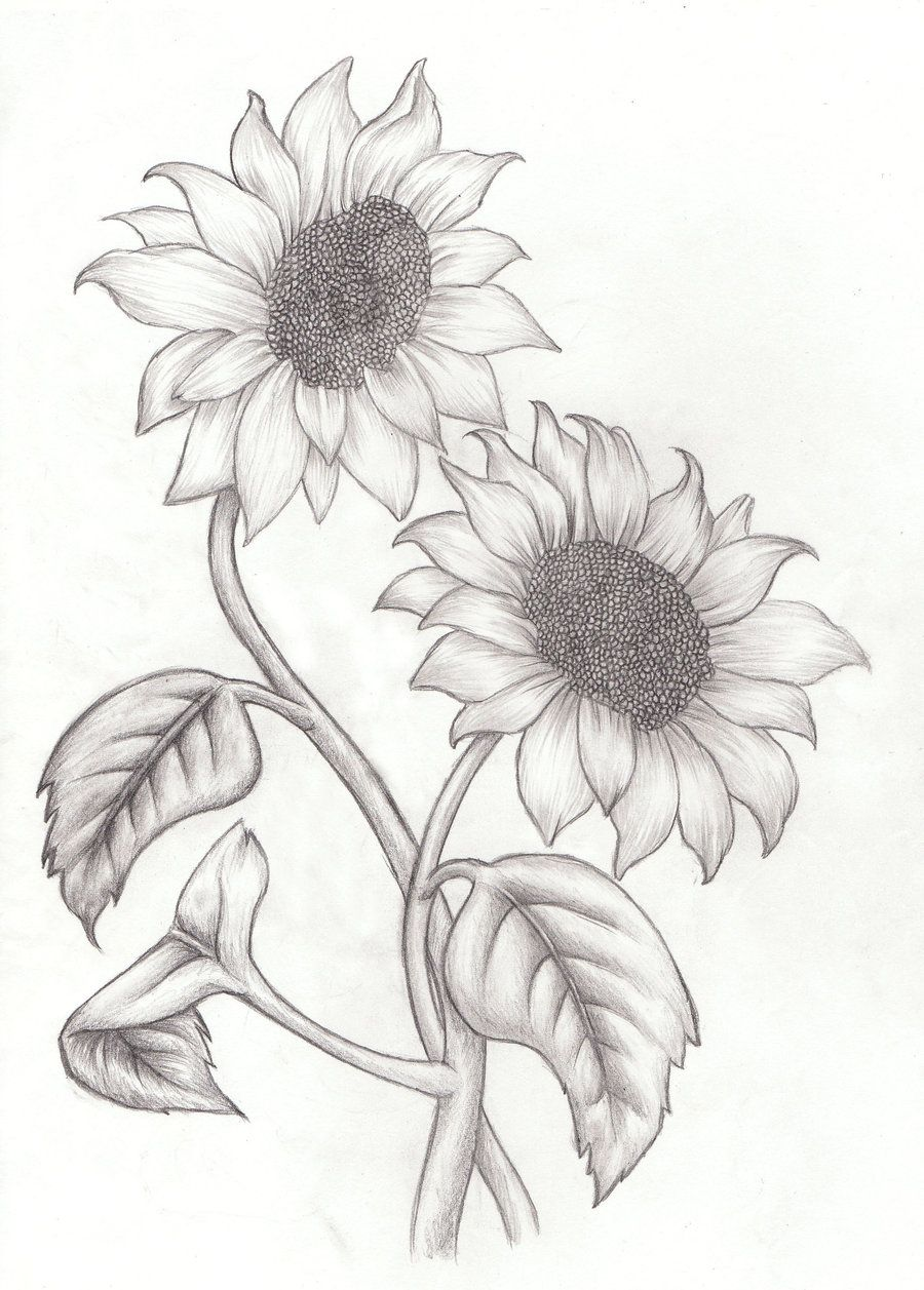 Sunflower Drawings sunflower drawing images free